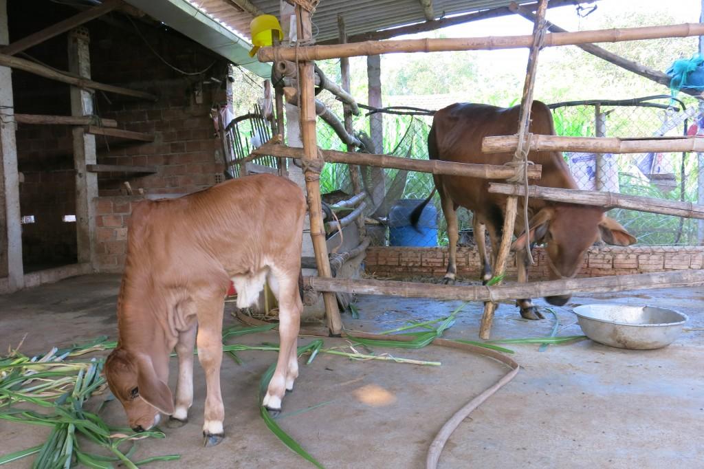 Ảnh 12: Cỏ Varisme số 6 (VA06) - thức ăn cho bò nuôi nhốt
