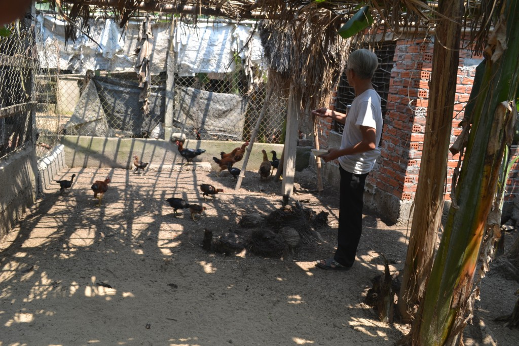 Mr. Trung feeds chicken in the cool net house